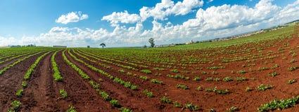 Peanut Plantation field plant. Nature Stock Image