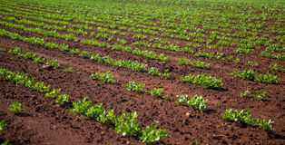 Peanut Plantation field plant. Nature Royalty Free Stock Photography