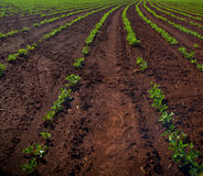 Peanut Plantation field plant. Nature Royalty Free Stock Photos