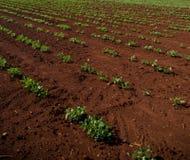 Peanut Plantation field plant. Nature Stock Images