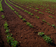 Peanut Plantation field plant. Nature Royalty Free Stock Images