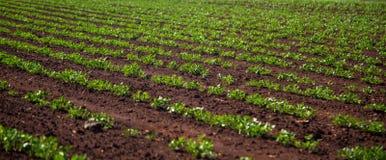 Peanut Plantation field plant. Nature Stock Photo