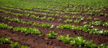 Peanut Plantation field plant. Nature Royalty Free Stock Photo