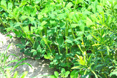 Peanut plants. Growing in field Stock Images