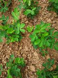 Peanut plants. In the field royalty free stock photography