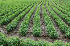 Rows of peanut plants. Peanut plants growing in field royalty free stock images