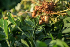 Peanut seed plant natural. Food Royalty Free Stock Photography