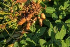 Peanut seed plant natural. Food Stock Photo