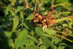 Peanut seed plant natural. Food Stock Images