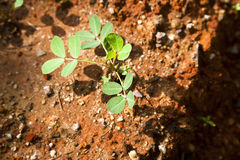Peanut seedling Royalty Free Stock Image