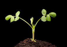 Peanut seedling Stock Image