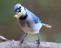 The Peanut Thief. A blue jay (Cyanocitta cristata) perching on a branch in Fall with a peanut in its beak Stock Images
