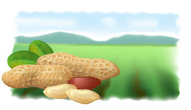 Peanuts on the background field. Stock Photo
