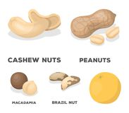 Peanuts, cashews, brazil nuts, macadamia.Different kinds of nuts set collection icons in cartoon style vector symbol. Stock illustration Stock Photography