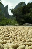 Peanuts drying Royalty Free Stock Photos