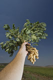Peanuts in farmer hand. With plant Royalty Free Stock Photo