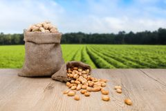 Peanuts in jute sack bag, background is peanut farm, roasted peanuts are poured and overturned. Background is peanut farm field. Aligned left for balnk copy stock images
