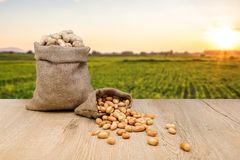 Peanuts in jute sack bag, background is peanut farm, roasted peanuts are poured and overturned stock photography