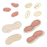 Peanuts. Set of vector peanuts, shelled and whole. Royalty Free Stock Image