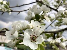 Pear's drzewo kwitnie przy chmurnego nieba tłem zdjęcie royalty free