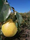 Pear arkivfoto