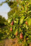 Pear. Red pear hanging on tree Royalty Free Stock Photography
