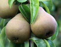 Pear. Fruits on the tree in the fruit garden stock photography