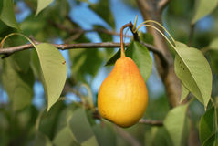 Pear Royaltyfri Fotografi