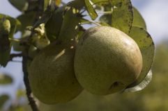 Pear. Fresh pear on the tree in late summer Stock Image