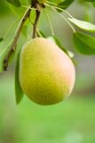Pear. One pear hanging on a branch against blurred background Stock Photos