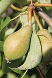Pear Arkivbild