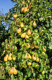 Pear. Abundance of pears on a pear orchard Stock Image
