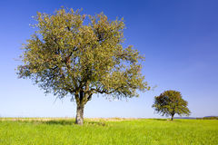 Pear and apple trees. On a field, by Beckingen, Saarland / Germany Stock Photo