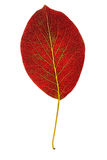 Pear autumn leaf isolated Royalty Free Stock Photography