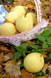Pear. Autumn still life with a pear Stock Photography