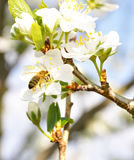 Pear bee Stock Images