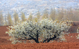 Pear blooming Stock Images