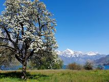 Blooming pear tree, snowy peaks, in between the deep blue Walensee. royalty free stock photography