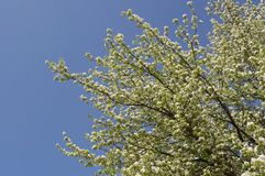 Pear - blossom Stock Photo