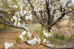 Pear blossom Stock Images