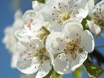 Pear blossom. White pear blossom, blue sky Stock Photography