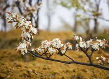 Free Pear Blossom Royalty Free Stock Images - 4816669