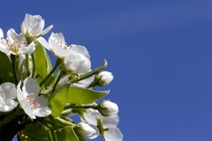Pear blossom. On tree royalty free stock images