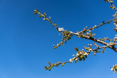 Pear blossom, against a blue sky. A few pear branches with buds and blossom Stock Photos