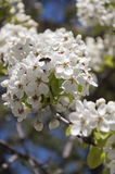 Pear Blossom Royalty Free Stock Image