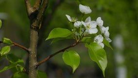 Pear blossom branch spring flower in the garden tree stock video