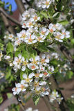 Pear blossom close-up, selective focus Royalty Free Stock Images
