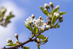 Pear Blossom Stock Photography