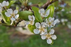 Pear blossom, flowering tree Royalty Free Stock Photo