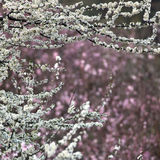 Pear Blossom Royalty Free Stock Images